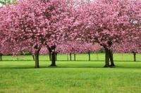 Sakura-Trees