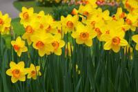 Daffodil 1