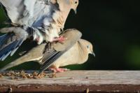 Mourning-Doves-2