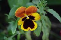Pansy-2
