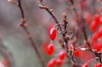 Berries #1