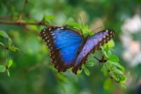 A Blue Butterfly on a Branch