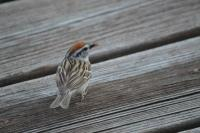 Chipping-Sparrow-3