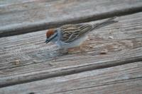 Chipping-Sparrow-4