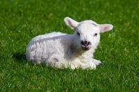 Lamb-1