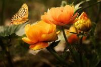 Orange-Butterfly-with-Orange-Flowers