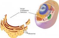 Endoplasmic Reticulum (Rough)