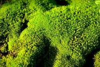 Green-Moss-1