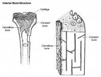 Anatomy: Bone