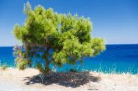 Pine Tree & Sea