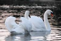 Swans-on-a-Lake