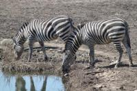Zebras-at-Watering-Hole